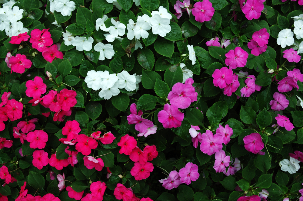 Annuals and perennials landscapers wholesale market impatiens mightylinksfo